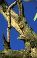 ユーカリの木で休むオーストラリアガマグチヨタカ