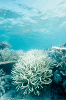 異常気象により白化したサンゴ類