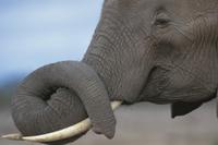 牙の上で鼻を休めるアフリカゾウ