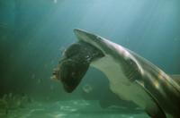 魚を捕食するシロワニ 32240000238| 写真素材・ストックフォト・画像・イラスト素材|アマナイメージズ