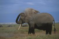 砂浴びするアフリカゾウ