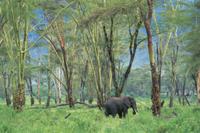 森の中で採食するアフリカゾウ