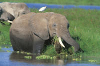 水辺で採食するアフリカゾウ