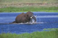 水浴びするアフリカゾウ