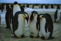 足の上で抱卵するコウテイペンギン(エンペラーペンギン)