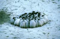体を寄せ合い強風に耐えるコウテイペンギン(エンペラーペンギン