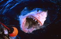 大きな口を開けて海面に現れたホホジロザメ(ホオジロザメ)