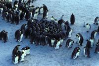暖をとるため集まるコウテイペンギン(エンペラーペンギン)のヒ