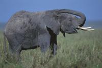 泥浴びをするアフリカゾウ