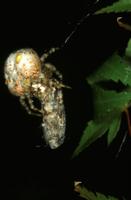 粘着力のある糸で虫を捕まえるオオイセキグモ(ナゲナワグモ)の