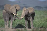 鼻で触れあうアフリカゾウ