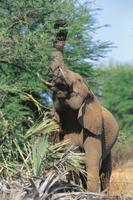 鼻をつかって高いところの葉を食べるアフリカゾウ
