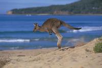 浜辺を跳びはねるオオカンガルー 32240000330| 写真素材・ストックフォト・画像・イラスト素材|アマナイメージズ