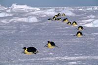 腹這いになって移動するコウテイペンギン(エンペラーペンギン)