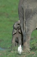 母親に甘えるアフリカゾウの子:生後3時間