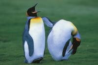 抱卵中のオウサマペンギン(キングペンギン) 32240000338| 写真素材・ストックフォト・画像・イラスト素材|アマナイメージズ
