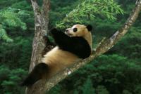 木の幹にこしかけるジャイアントパンダ