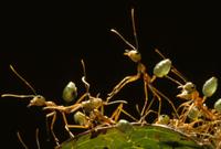 木の上の巣を守るツムギアリ