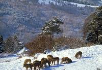 ヨーロッパオオカミの群れ