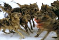 ヨーロッパオオカミの群れと獲物