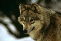 ヨーロッパオオカミ