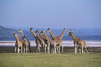 ウガンダキリンの群れ 32240000507| 写真素材・ストックフォト・画像・イラスト素材|アマナイメージズ
