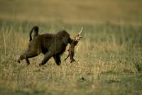 トムソンガゼルを捕食するアヌビスヒヒ 32240000508| 写真素材・ストックフォト・画像・イラスト素材|アマナイメージズ