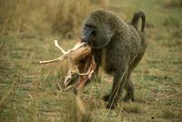 トムソンガゼルを捕食するアヌビスヒヒ 32240000509| 写真素材・ストックフォト・画像・イラスト素材|アマナイメージズ