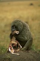 トムソンガゼルを捕食するアヌビスヒヒ 32240000510| 写真素材・ストックフォト・画像・イラスト素材|アマナイメージズ
