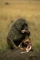 トムソンガゼルを捕食するアヌビスヒヒ 32240000511| 写真素材・ストックフォト・画像・イラスト素材|アマナイメージズ