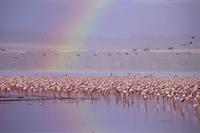 コフラミンゴの群れ 32240000515| 写真素材・ストックフォト・画像・イラスト素材|アマナイメージズ