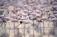 コフラミンゴの群れ 32240000516| 写真素材・ストックフォト・画像・イラスト素材|アマナイメージズ