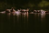 水から半分顔を出すカバ 32240000522| 写真素材・ストックフォト・画像・イラスト素材|アマナイメージズ