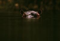 水から半分顔を出すカバ