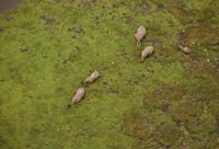 アフリカゾウ 空撮