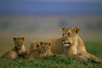 ライオンの母子