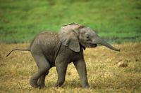 アフリカゾウの赤ちゃん