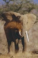アフリカゾウの泥浴び