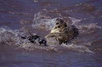 ナイルワニに襲われるオグロヌー 32240000596| 写真素材・ストックフォト・画像・イラスト素材|アマナイメージズ