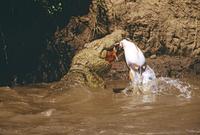 捕食するナイルワニ