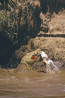 トムソンガゼルを捕食するナイルワニ 32240000598| 写真素材・ストックフォト・画像・イラスト素材|アマナイメージズ
