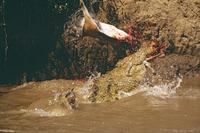 トムソンガゼルを捕食するナイルワニ