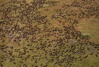 オグロヌーの大移動 空撮 32240000608| 写真素材・ストックフォト・画像・イラスト素材|アマナイメージズ
