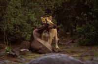 ライオンの餌食になったオグロヌー