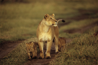 ライオンの親子 32240000624| 写真素材・ストックフォト・画像・イラスト素材|アマナイメージズ