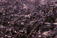 オグロヌーの大移動 32240000628| 写真素材・ストックフォト・画像・イラスト素材|アマナイメージズ