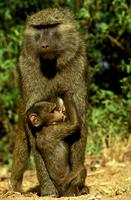 アヌビスヒヒと赤ちゃん