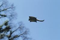 飛ぶオオフクロモモンガ