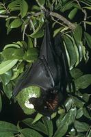実を食べるクロオオコウモリ亜種