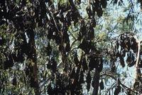 木に群がるメガネオオコウモリとオオコウモリの仲間